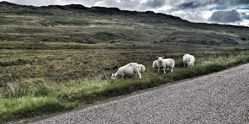 Pecore in Scozia