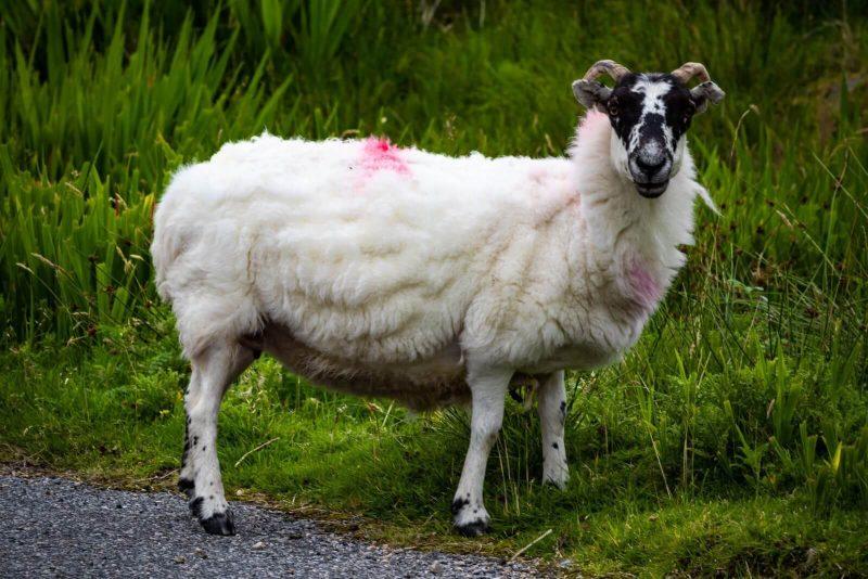 Isola di Harris pecore